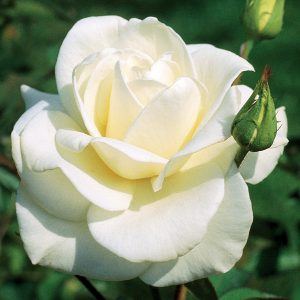Trandafir Tufa Virgo