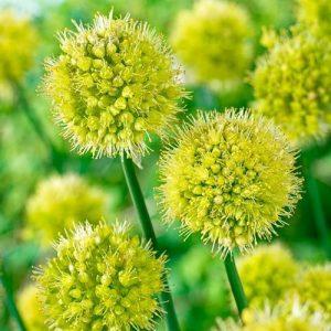 Allium Moly Lutem