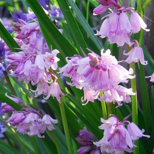 Zambile Hyacinthoides Hispanica Pink