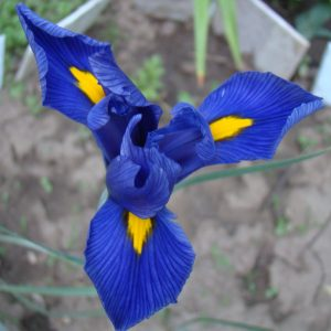 Iris Blue Hollandica