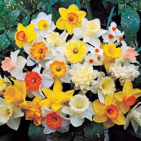 Narcise Botanic Mixed
