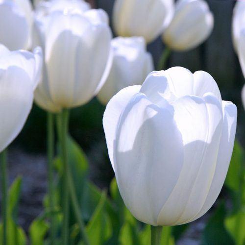 Lalele Agrass Dream-Pachet 10 bulbi