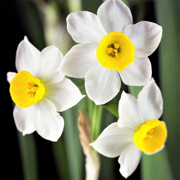 Narcise Canaliculatus