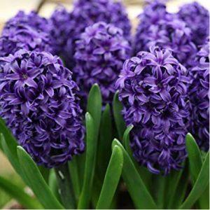 Zambile Hyacinthus Blue Jaket-Pachet 5 bulbi