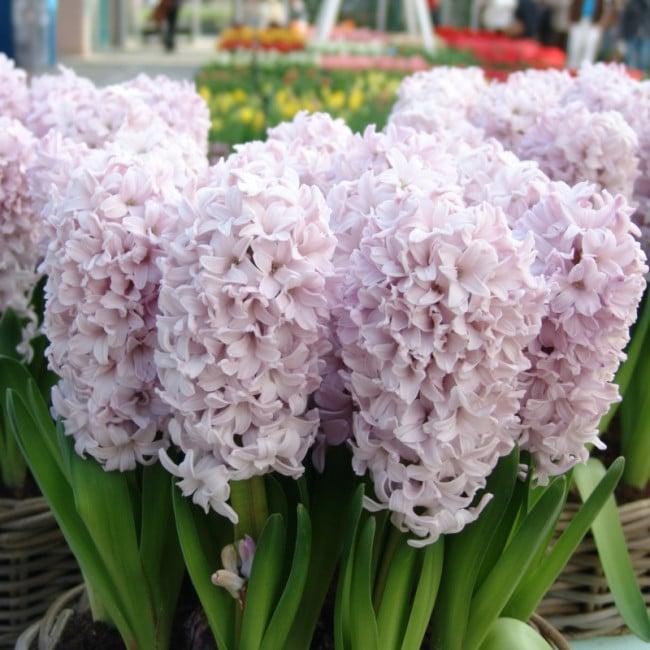 Zambile Hyacinthus Top Hit