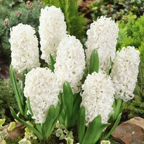 Zambile Hyacinthus White Ideal