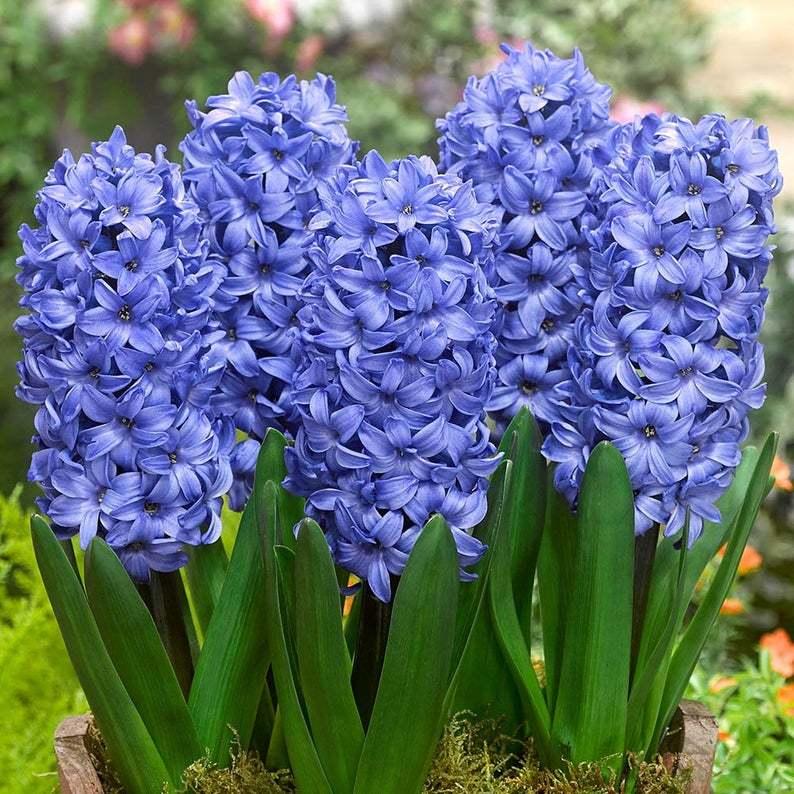 Zambile Hyacinthus Blue Star