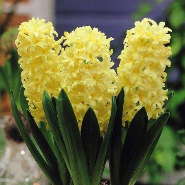 Zambile Hyacinthus Yellowstone-Pachet 5 bulbi