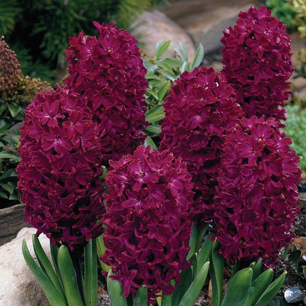 Zambile Hyacinthus Jan Boss