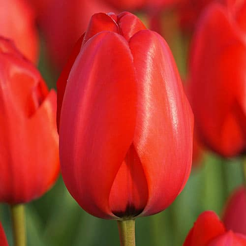 Lalele Red Impression-Pachet 10 bulbi