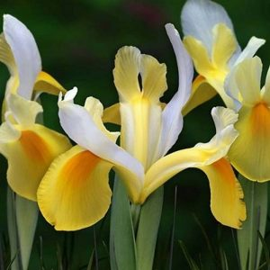 Iris Hollandica Symphony