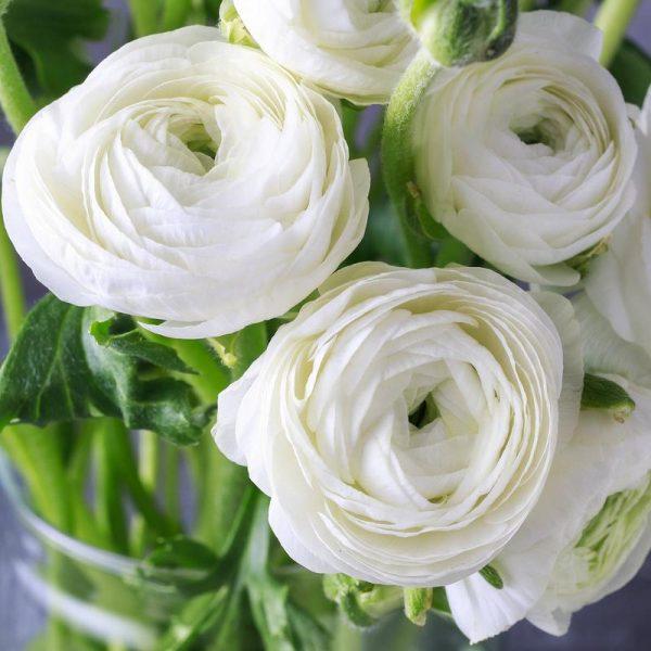 Ranunculus White-Pachet 10 bulbi