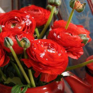 Ranunculus Red-Pachet 10 bulbi