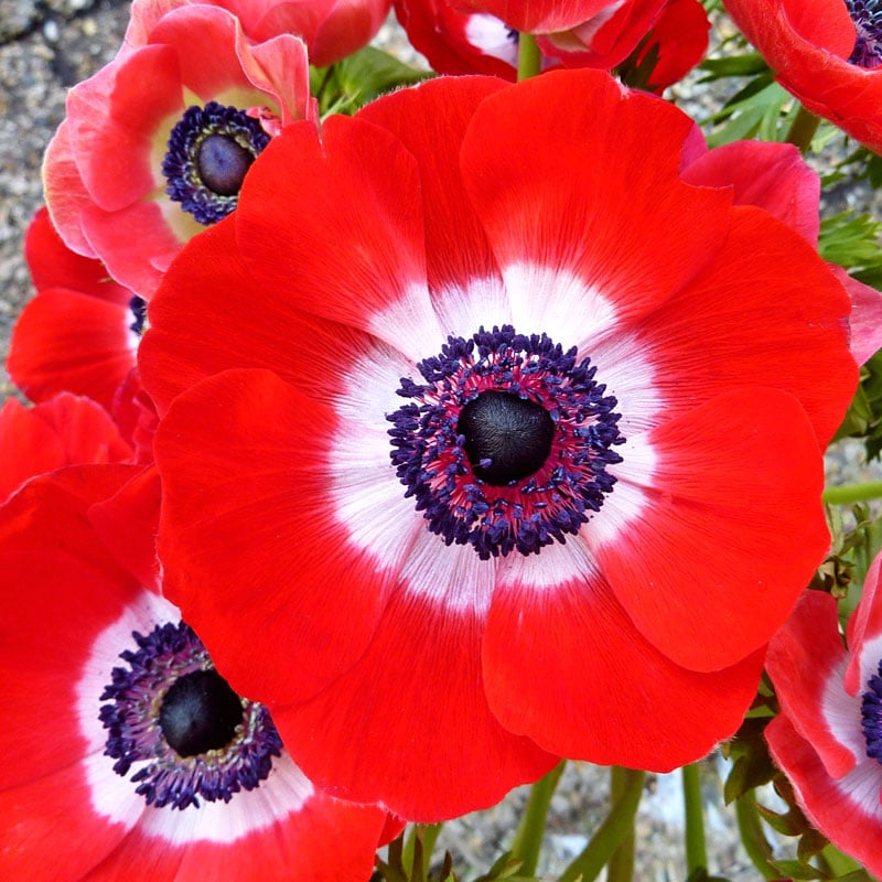 Anemone Coronaria Hollandia