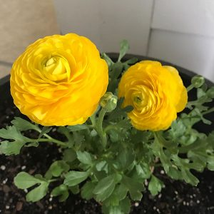 Ranunculus Yellow-Pachet 10 bulbi