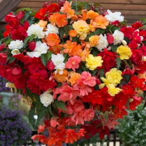 Pachet Promo 20 Bulbi Begonia