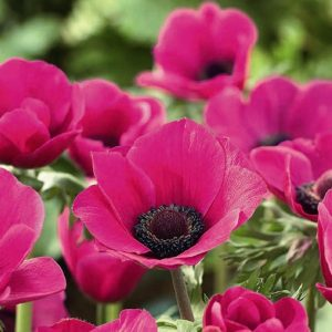 Anemone Sylphide Pink