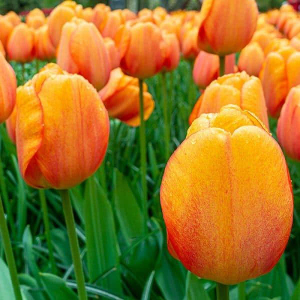Lalele Blushing Apeldoorn-Pachet 10 Bulbi