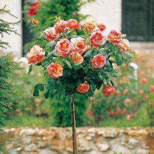 Trandafir Copacel Jaques Cartier Monika