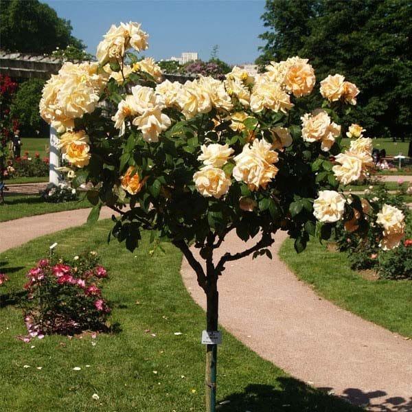 Trandafir Copacel Jaques Cartier Sunblest