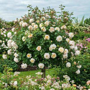Trandafir Copacel Jaques Cartier Limelight