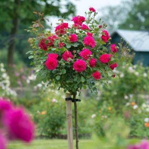 Trandafir Copacel Jaques Cartier Bel Ange