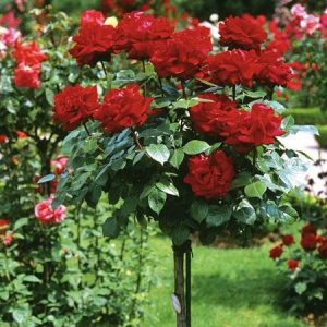 Trandafir Copacel Jaques Cartier Dame De Coeur