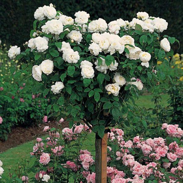 Trandafir Copacel Jaques Cartier Lenip
