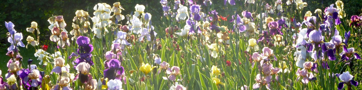 Irisul sau stanjenelul