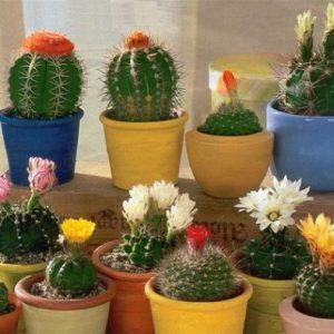 Seminte De Cactus - Mixt