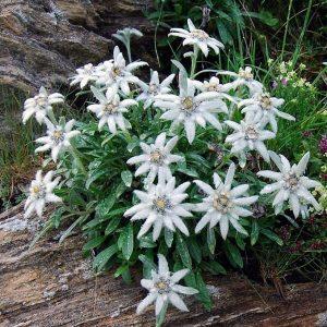 Seminte Floare De Colt