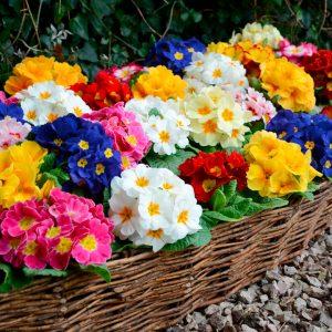 O multitudine de bulbi de flori care se planteaza incepand cu 1 Martie!