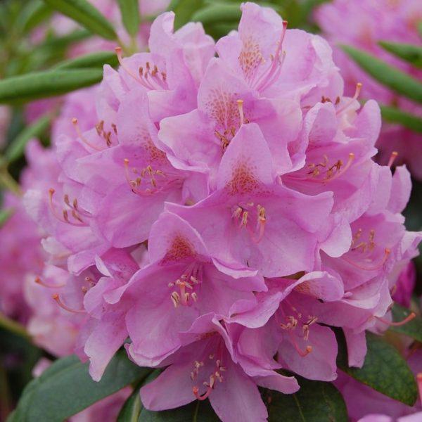 Rhododendron Roseum Elegans