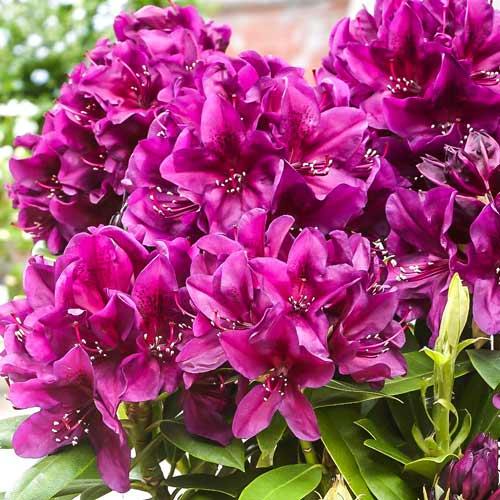 Rhododendron Catawba Grandiflorum