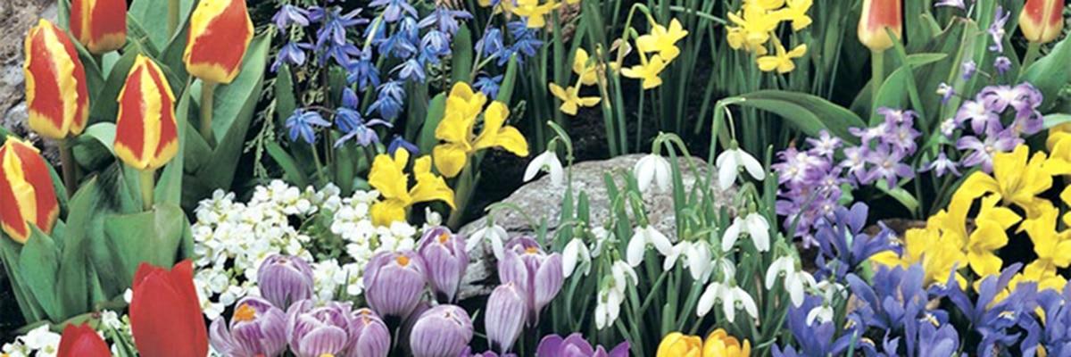 Flori timpurii de primavara