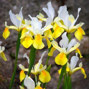 Iris Hollandica Simphony