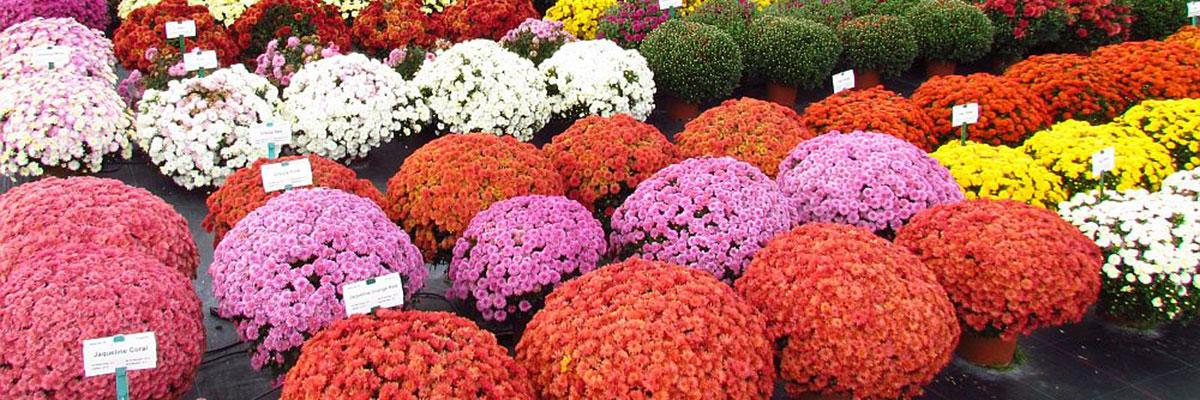 Crizantemele