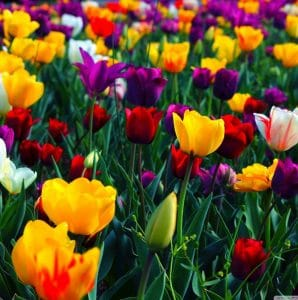Bulbi de flori care se planteaza incepand cu 15 August!