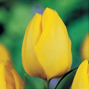 Lalele Golden Apeldoorn